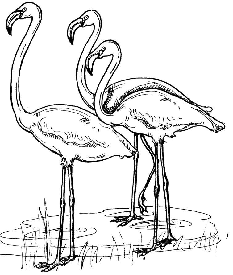 Раскраска  птицы фламинго. Скачать .  Распечатать