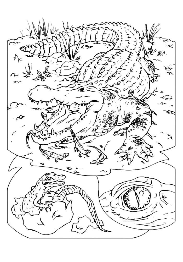 Раскраска  крокодил распечатать. Скачать крокодил.  Распечатать Дикие животные