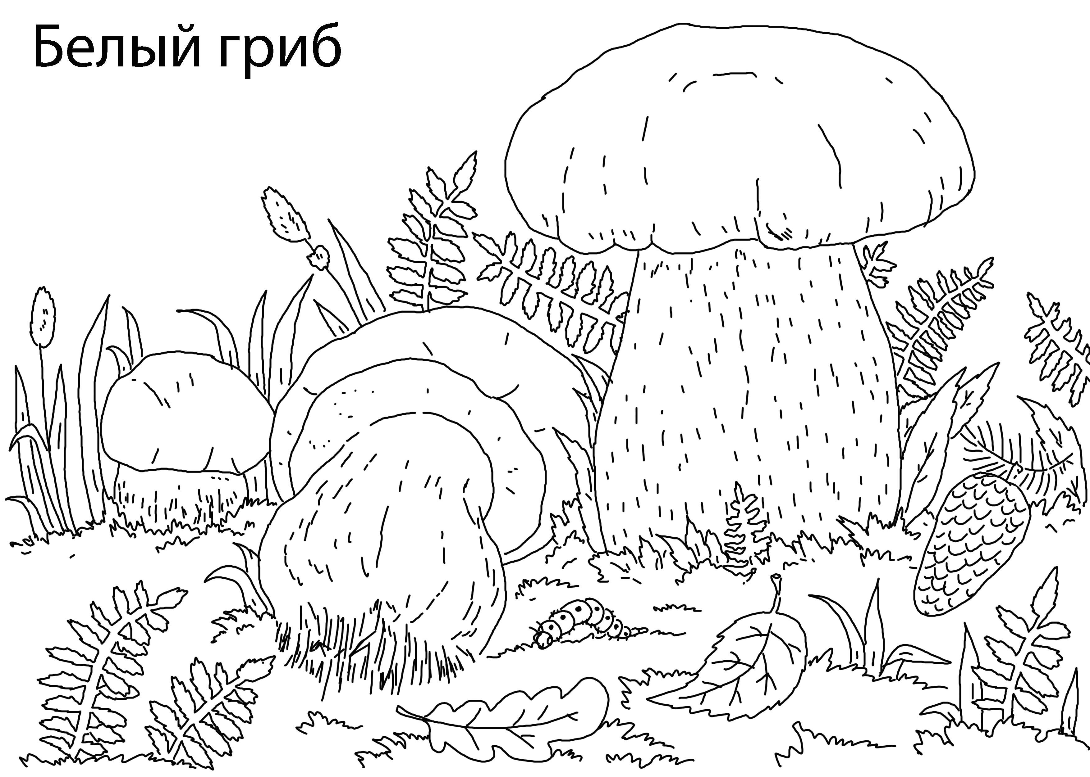 Раскраска 5белый гриб. Скачать гриб.  Распечатать растения