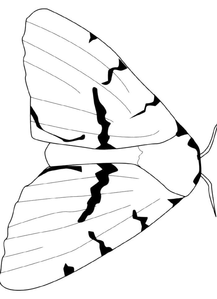 Раскраска  Ночная бабочка. Скачать бабочка.  Распечатать бабочка