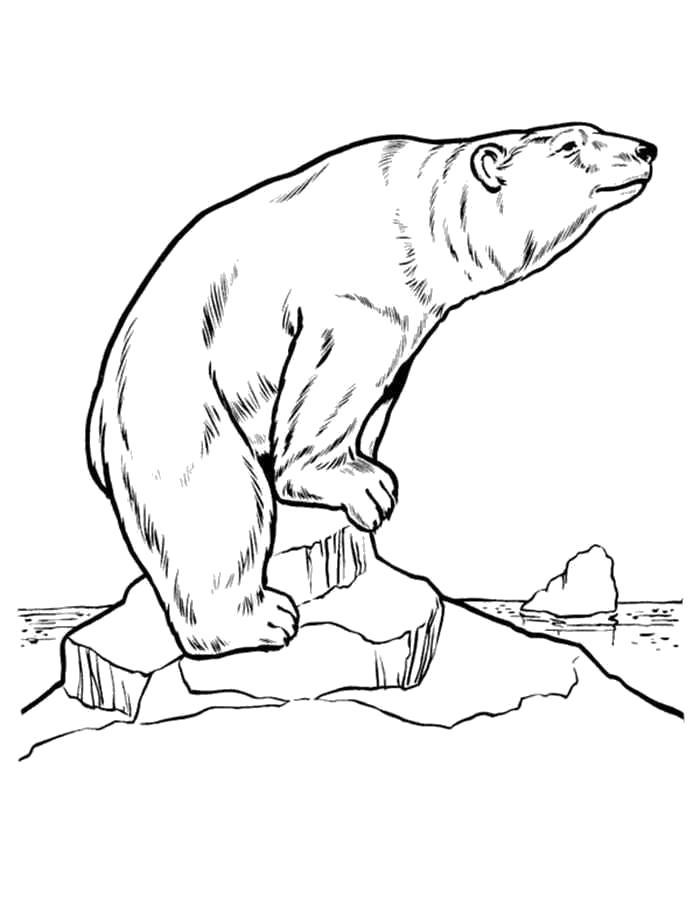 Раскраска  белый медведь. Скачать медведь.  Распечатать Дикие животные
