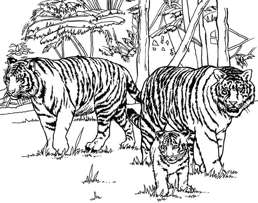Раскраска семья тигров вышла на охоту. Скачать Тигр.  Распечатать Дикие животные