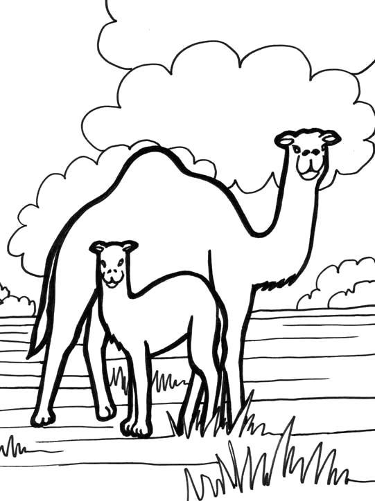 Раскраска верблюды. Скачать Верблюд.  Распечатать Дикие животные