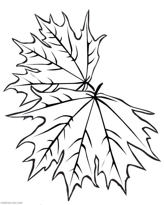 Раскраска Кленовые листья - . Осень. Скачать Листья клена.  Распечатать Контуры листьев