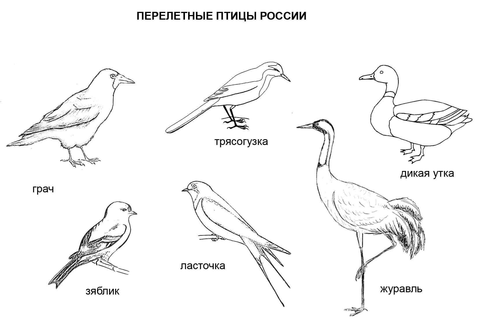 Раскраска Перелетные птицы России. . Скачать Птицы.  Распечатать Птицы