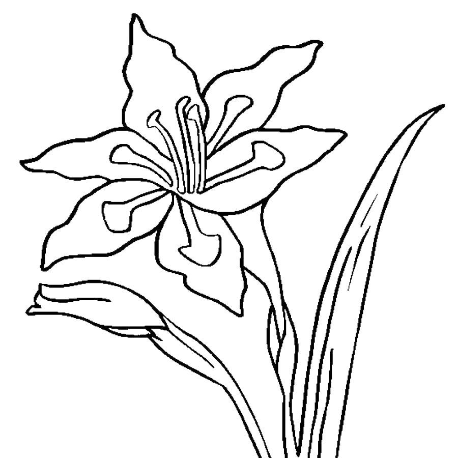Раскраска Большой цветок гладиолус, цветок, природа, красота. Скачать Цветок.  Распечатать Цветок