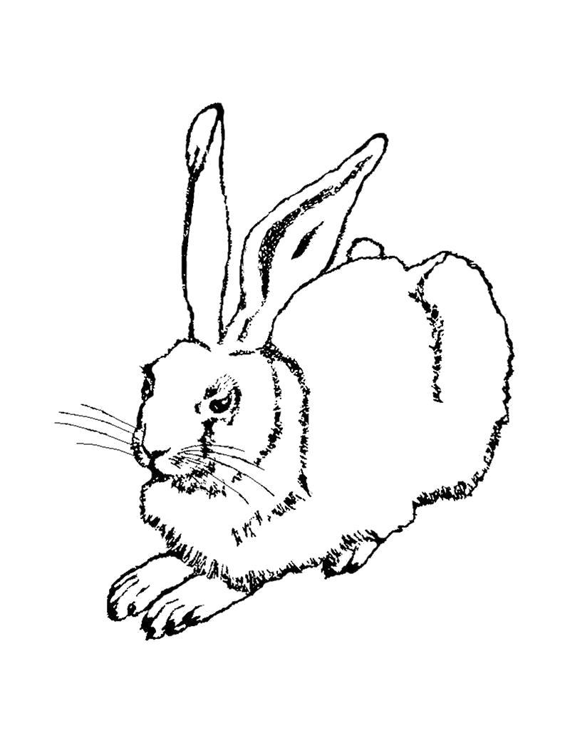 Раскраска Заяц . Скачать Заяц.  Распечатать Домашние животные