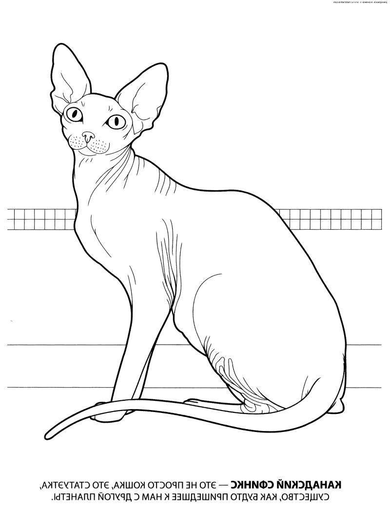 Раскраска рисунок домашней кошки, сфинкс, лысая кошка, голая кошка, Сфинкс кошка... Скачать кошка.  Распечатать кошка