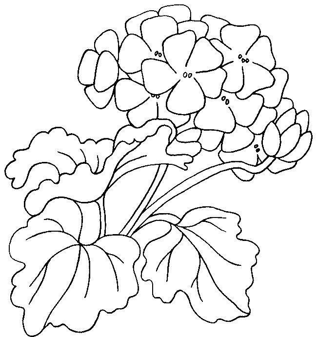 Раскраска  цветок Герань. Скачать Цветы.  Распечатать Цветы