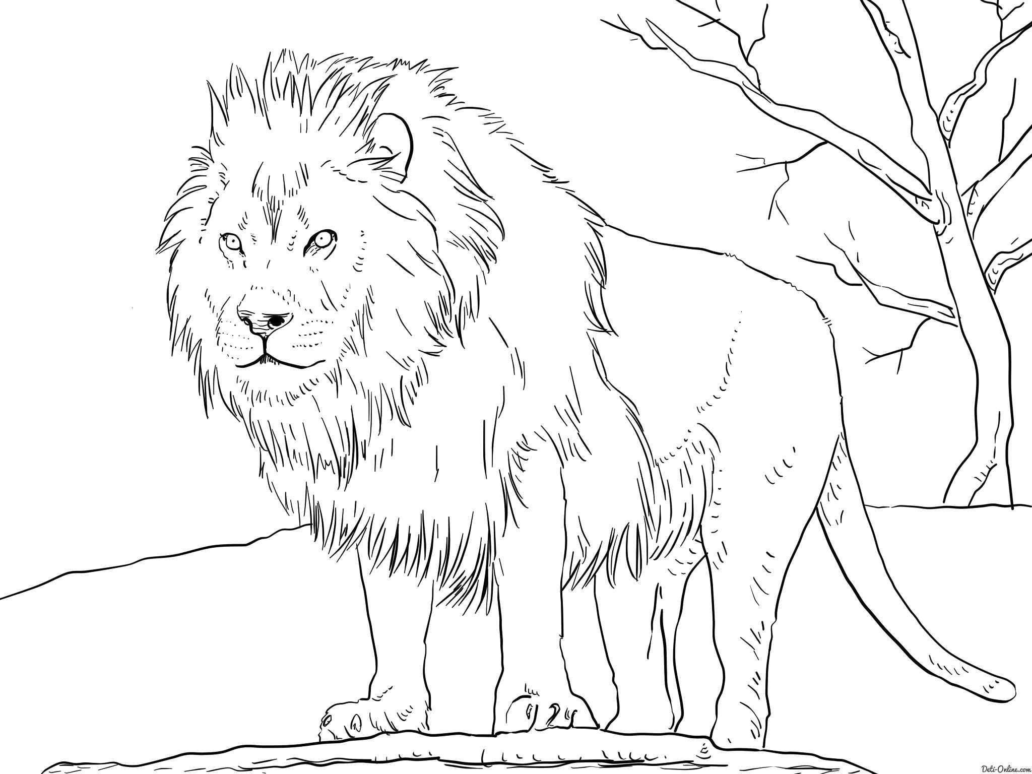 Раскраска  Африканский лев. Скачать Лев.  Распечатать Лев
