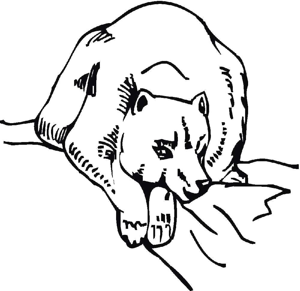 Раскраска большая медведица. Скачать медведь.  Распечатать Дикие животные