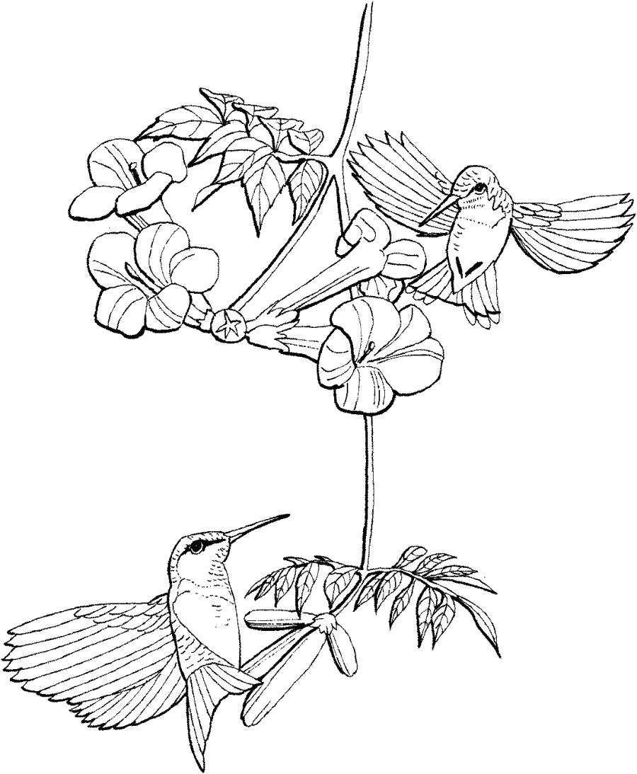 Раскраска Две птички колибри . Скачать колибри.  Распечатать колибри
