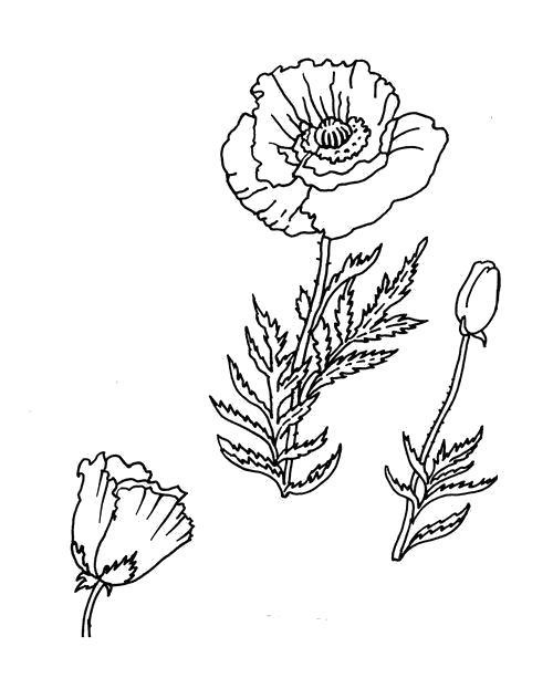Раскраска  Бутон и цветок. Скачать Цветы.  Распечатать Цветы