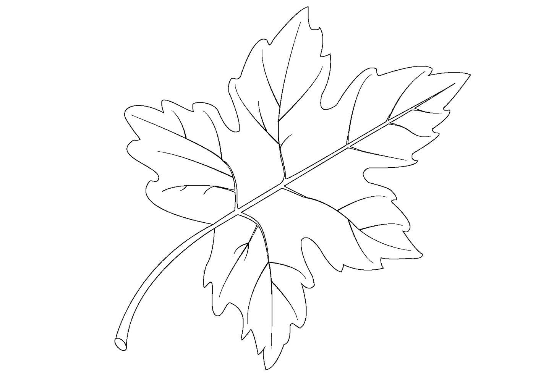 Раскраска  Кленовый лист. Скачать лист.  Распечатать растения