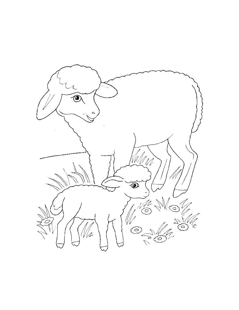 Раскраска  для самых маленьких  Домашние животные. Баран с барашком.. Скачать Баран.  Распечатать Домашние животные