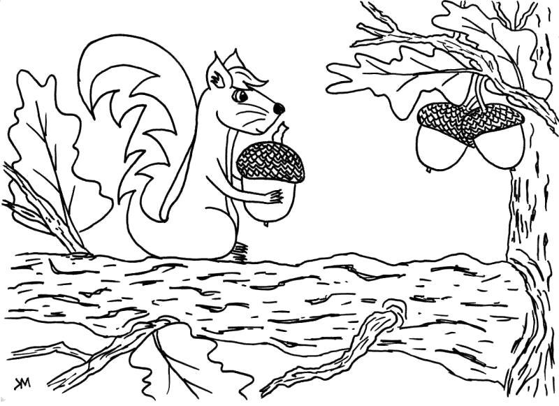 Раскраска Белка собирает желуди. Скачать белка.  Распечатать Дикие животные