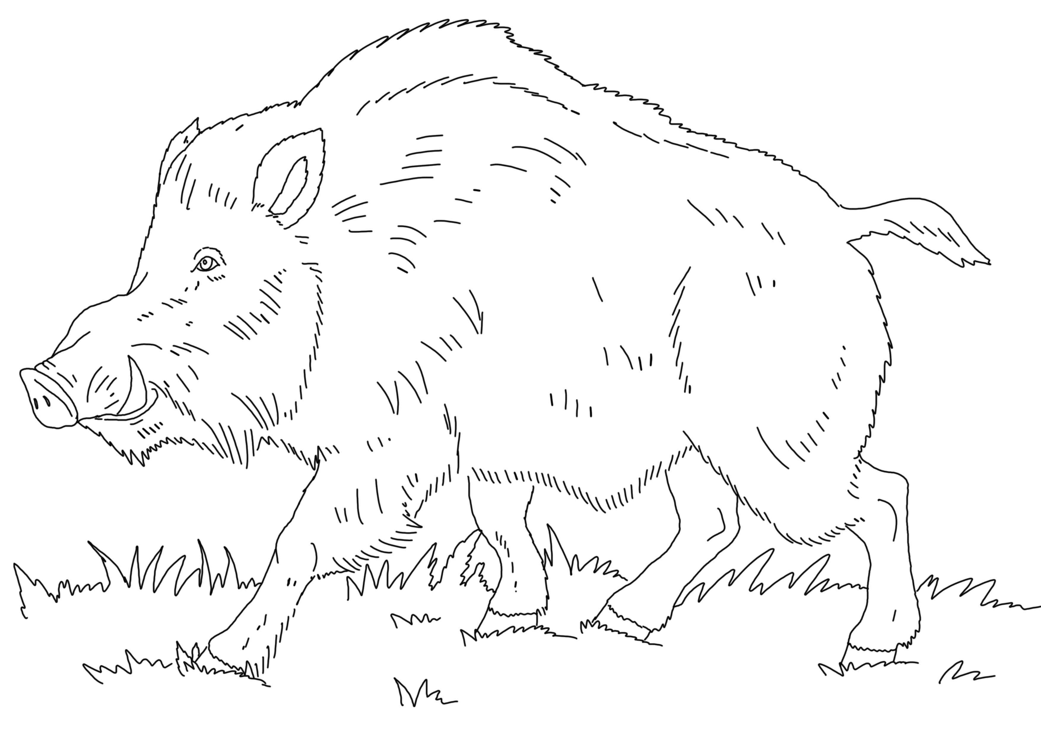 Раскраска Кабан . Скачать животные.  Распечатать животные