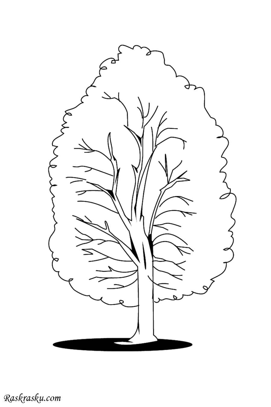 Раскраска Тополь. Скачать деревья.  Распечатать деревья