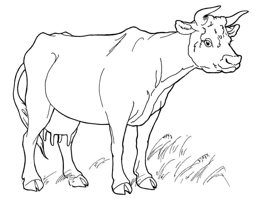 Раскраска  корова, домашняя корова, корова которая дает молоко. Скачать Корова.  Распечатать Корова