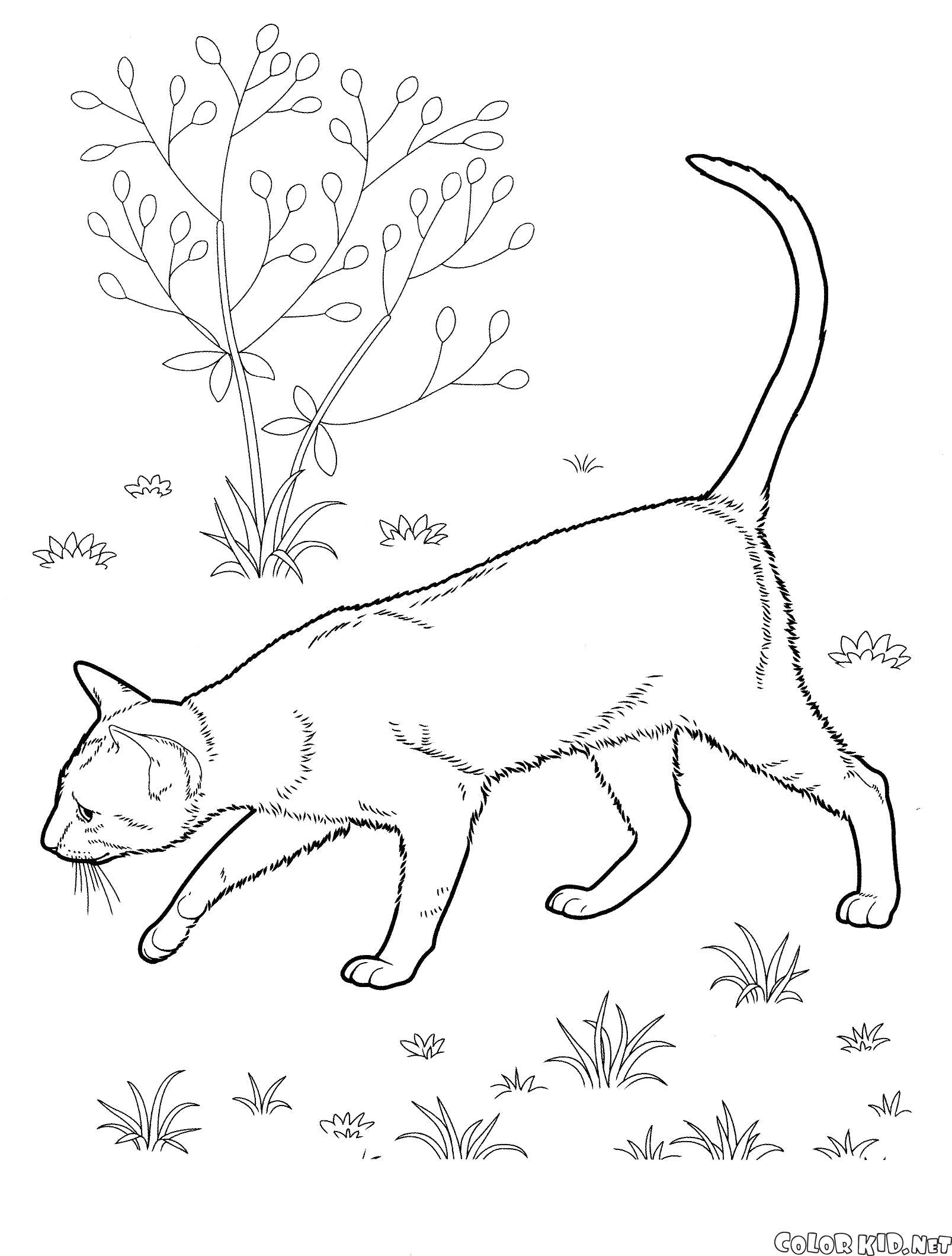 Раскраска Восточная короткошерстная. Скачать кошка.  Распечатать кошка