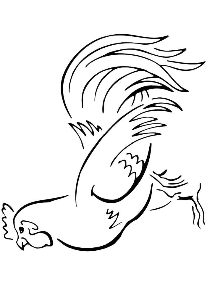 Раскраска  Петух с большим хвостом. Скачать Петух.  Распечатать Домашние животные