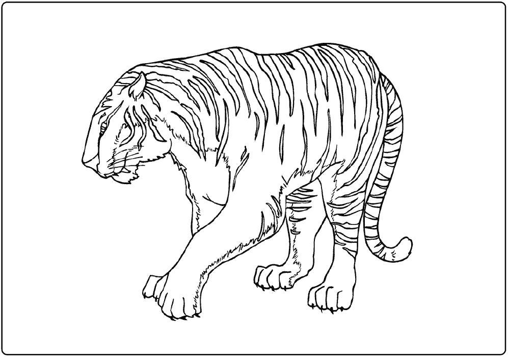 Раскраска красивая тигрица. . Скачать Тигр.  Распечатать Дикие животные