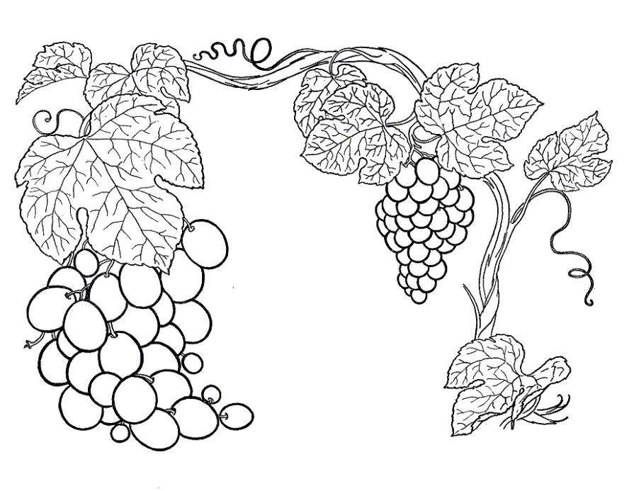 Раскраска  виноградная лоза. Скачать виноград.  Распечатать ягоды