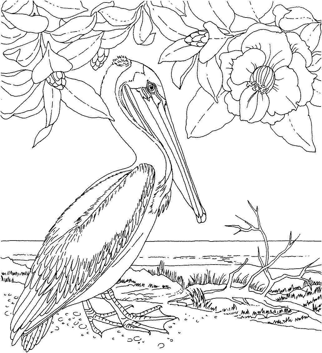 Раскраска  Пеликан.  Птица пеликан, белый пеликан картинка для раскрашивания, разукрашки для детей, магнолия. Скачать Пеликан.  Распечатать Пеликан