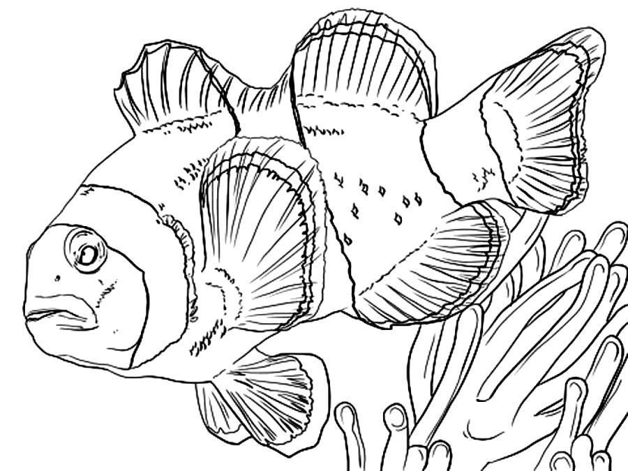 Раскраска Большая рыба клоун. Скачать .  Распечатать