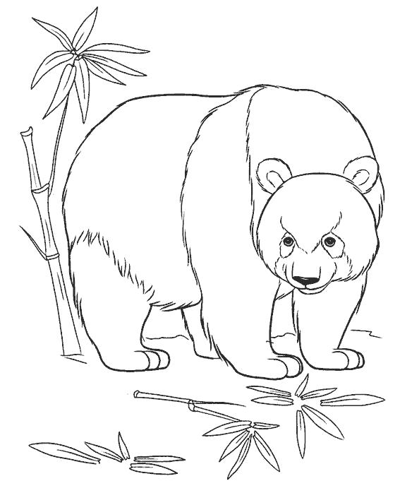 Раскраска панда и тросник. Скачать Панда.  Распечатать Дикие животные