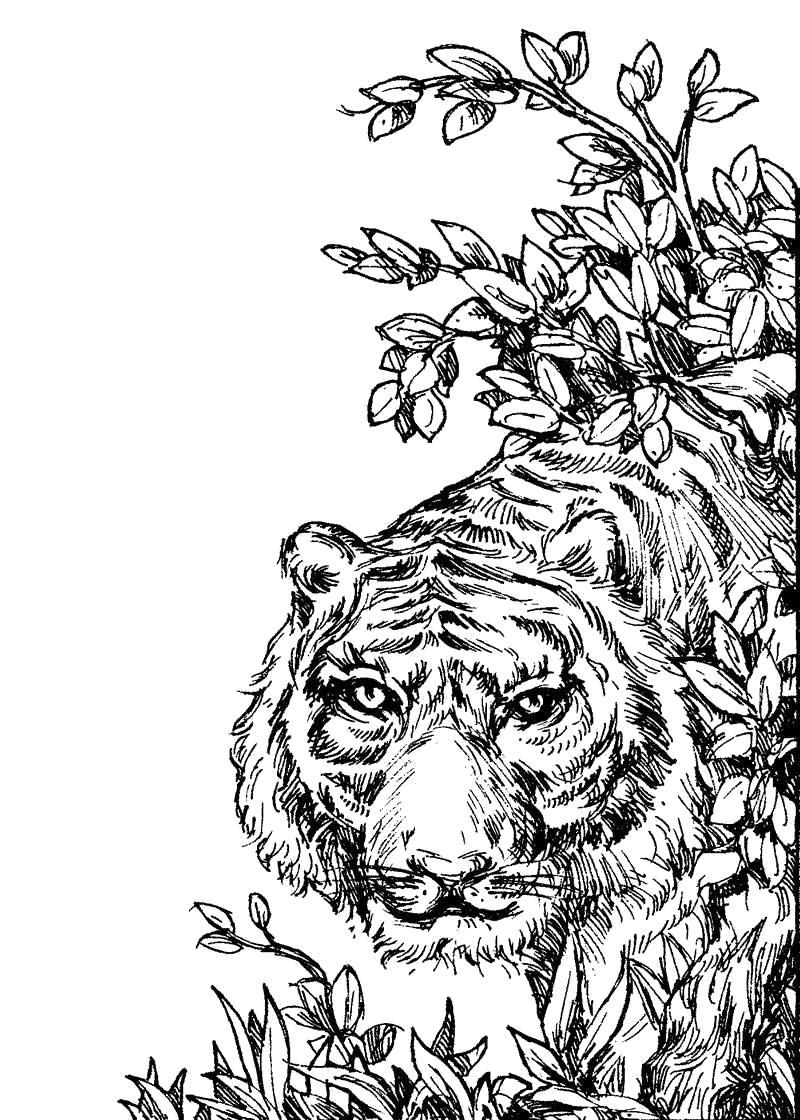 Раскраска Распечатать тигра. Скачать Тигр.  Распечатать Дикие животные