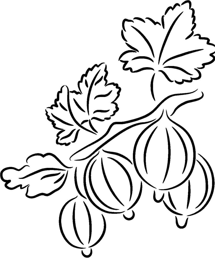 Раскраска Четыре ягоды крыжовника - . Скачать крыжовник.  Распечатать ягоды