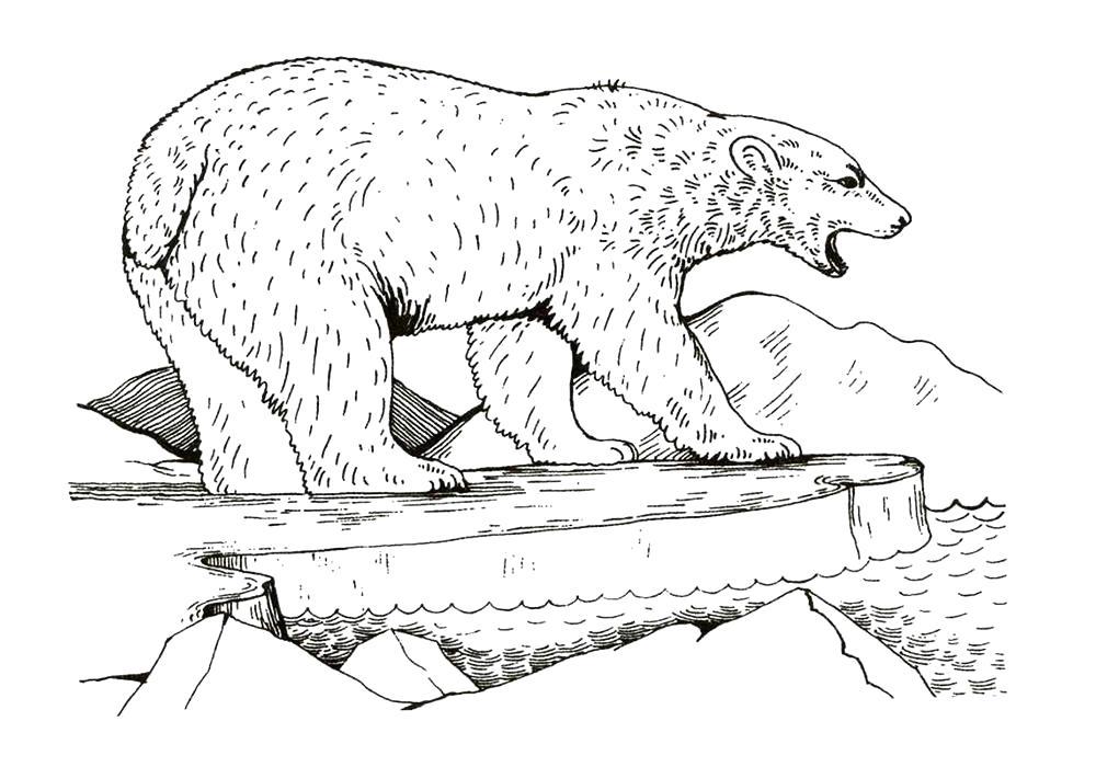 Раскраска  белый медведь на льдине. Скачать медведь.  Распечатать Дикие животные