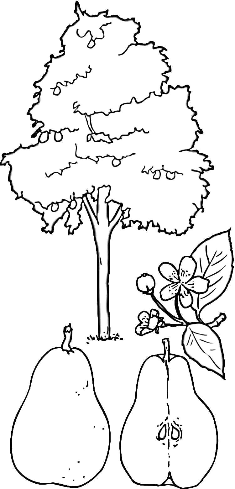Раскраска Дерево для груш. Скачать деревья.  Распечатать деревья