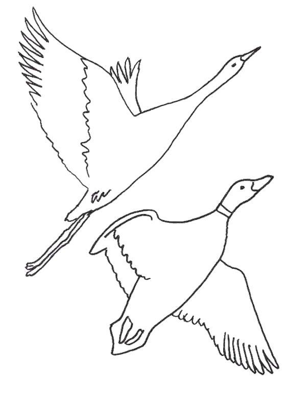 Раскраска перелетные птицы . Скачать Птицы.  Распечатать Птицы