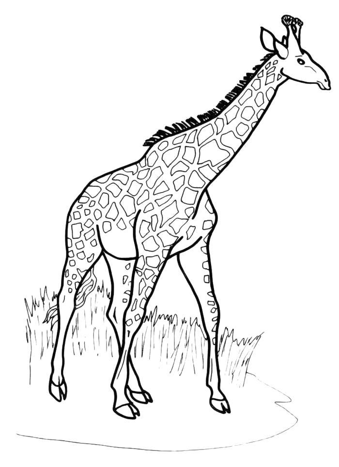 Раскраска  Идущий жираф. Скачать жираф.  Распечатать Дикие животные