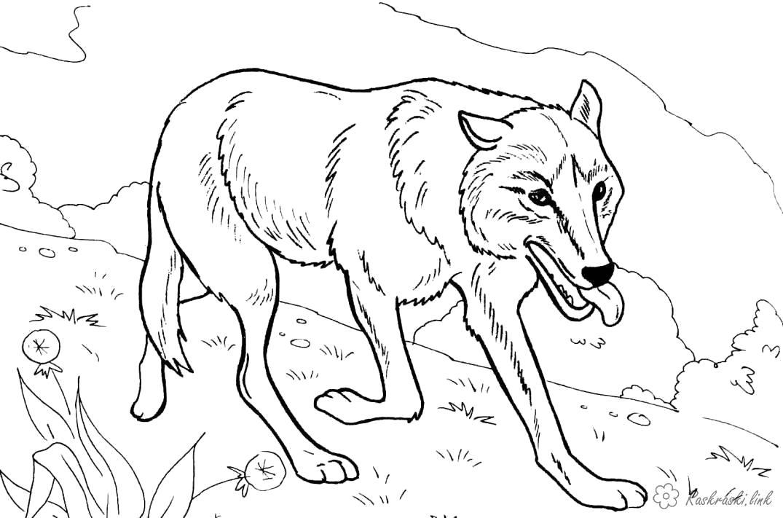 Раскраска волчица на охоте. Скачать волк.  Распечатать Дикие животные