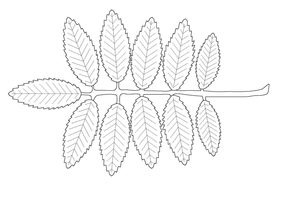 Раскраска листья рябины. Скачать лист.  Распечатать лист