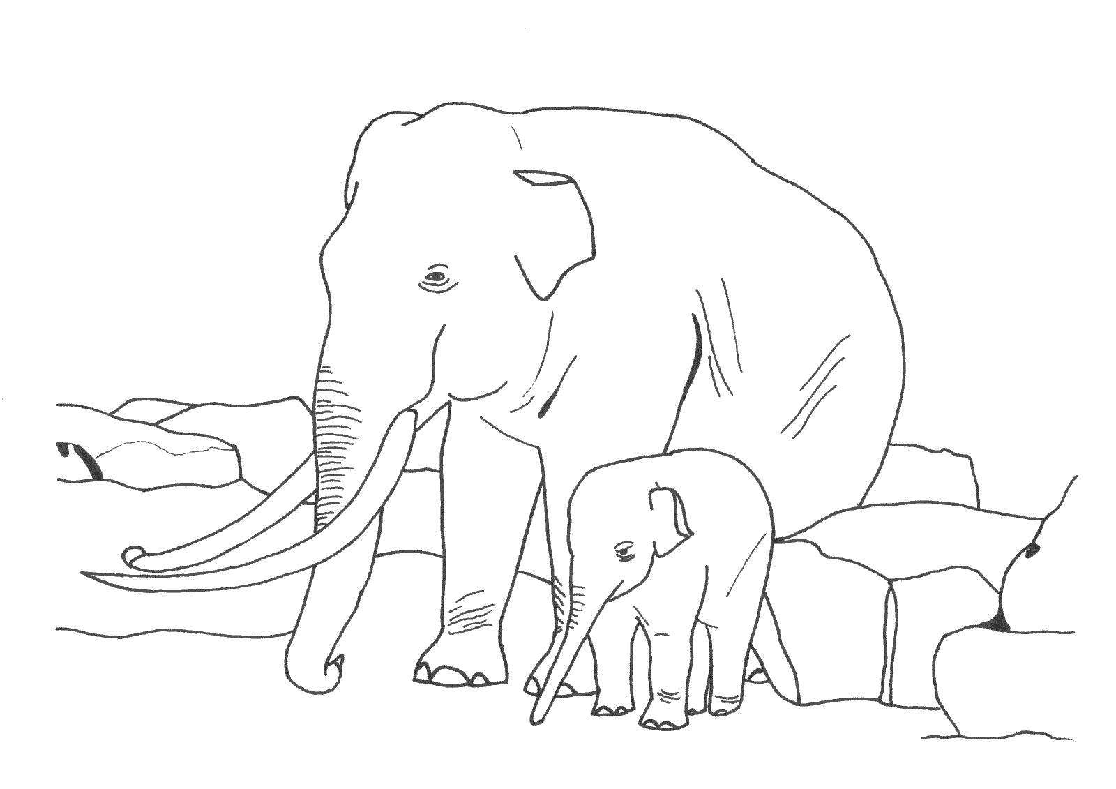 Раскраска Слоны. Скачать животные.  Распечатать животные