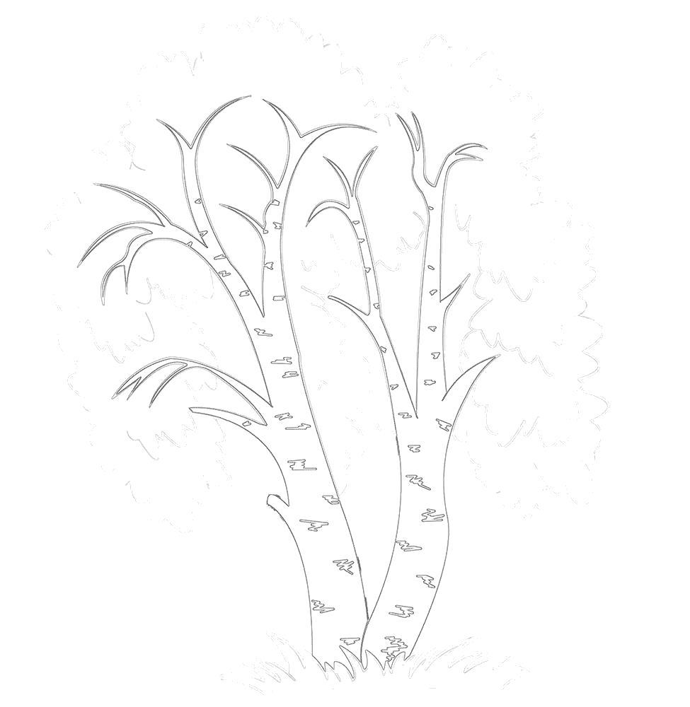 Раскраска Береза, дерево береза. Скачать береза.  Распечатать береза