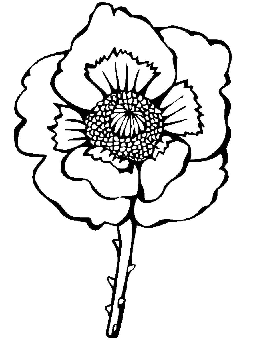 Раскраска Бутон мака, цветок. Скачать .  Распечатать