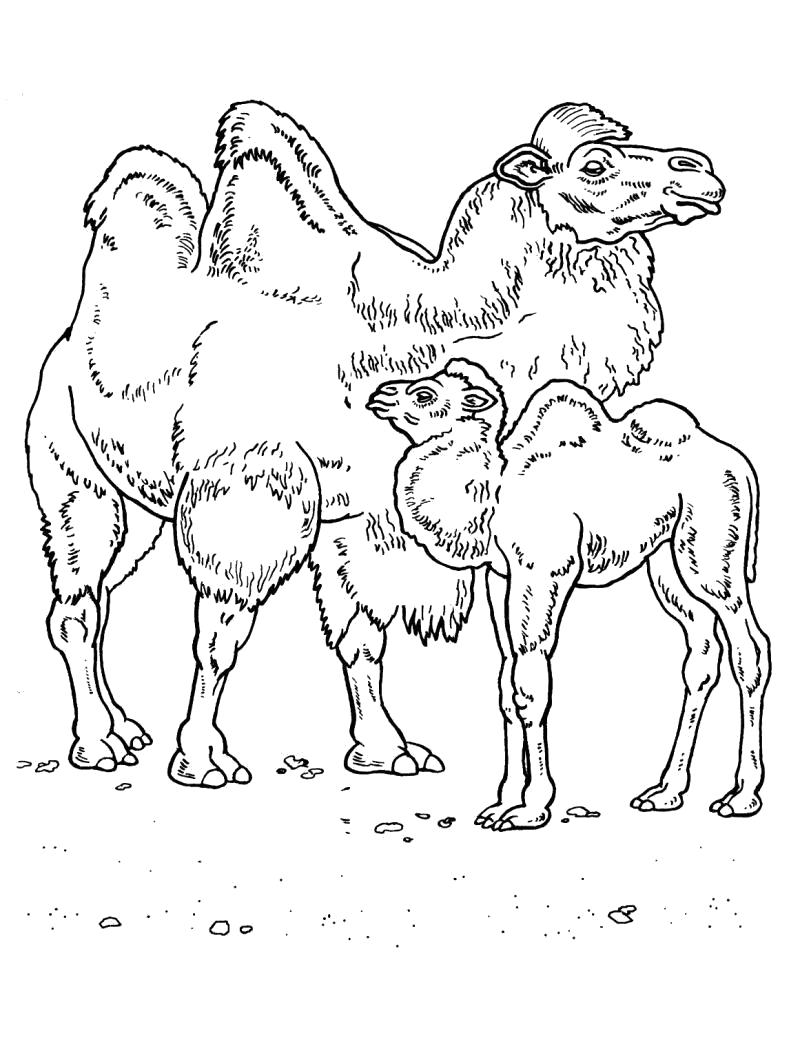 Раскраска  Верблюд и верблюжонок.. Скачать Верблюд.  Распечатать Дикие животные