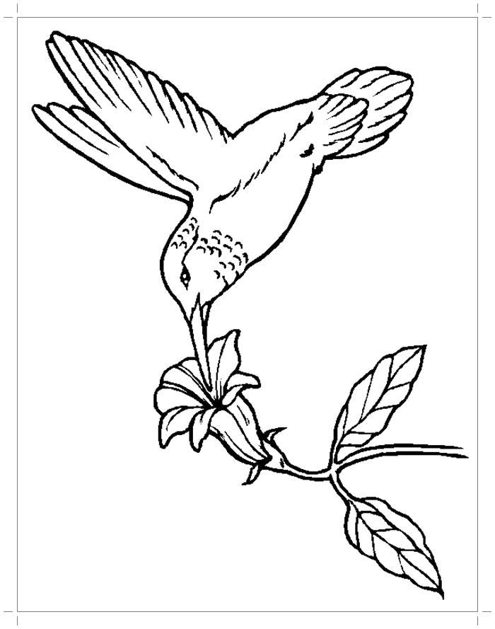 Раскраска Колибри пьет нектар . Скачать колибри.  Распечатать колибри