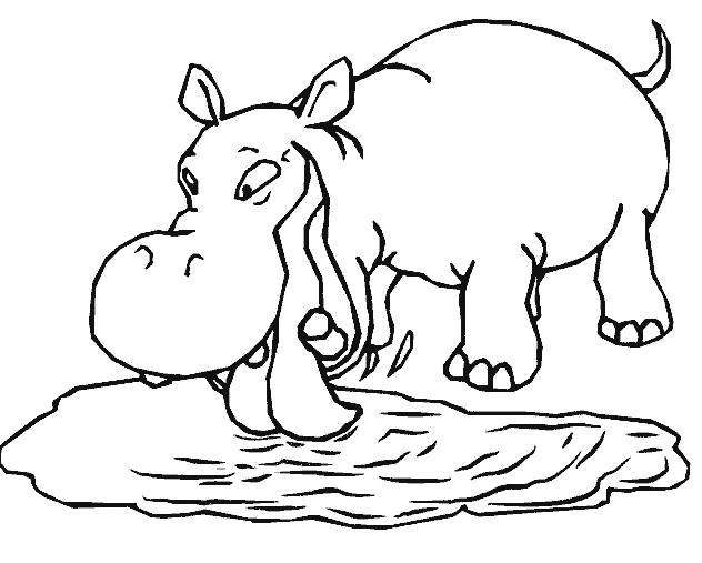 Раскраска бегемот пьет воду из пруда. Скачать бегемот.  Распечатать Дикие животные