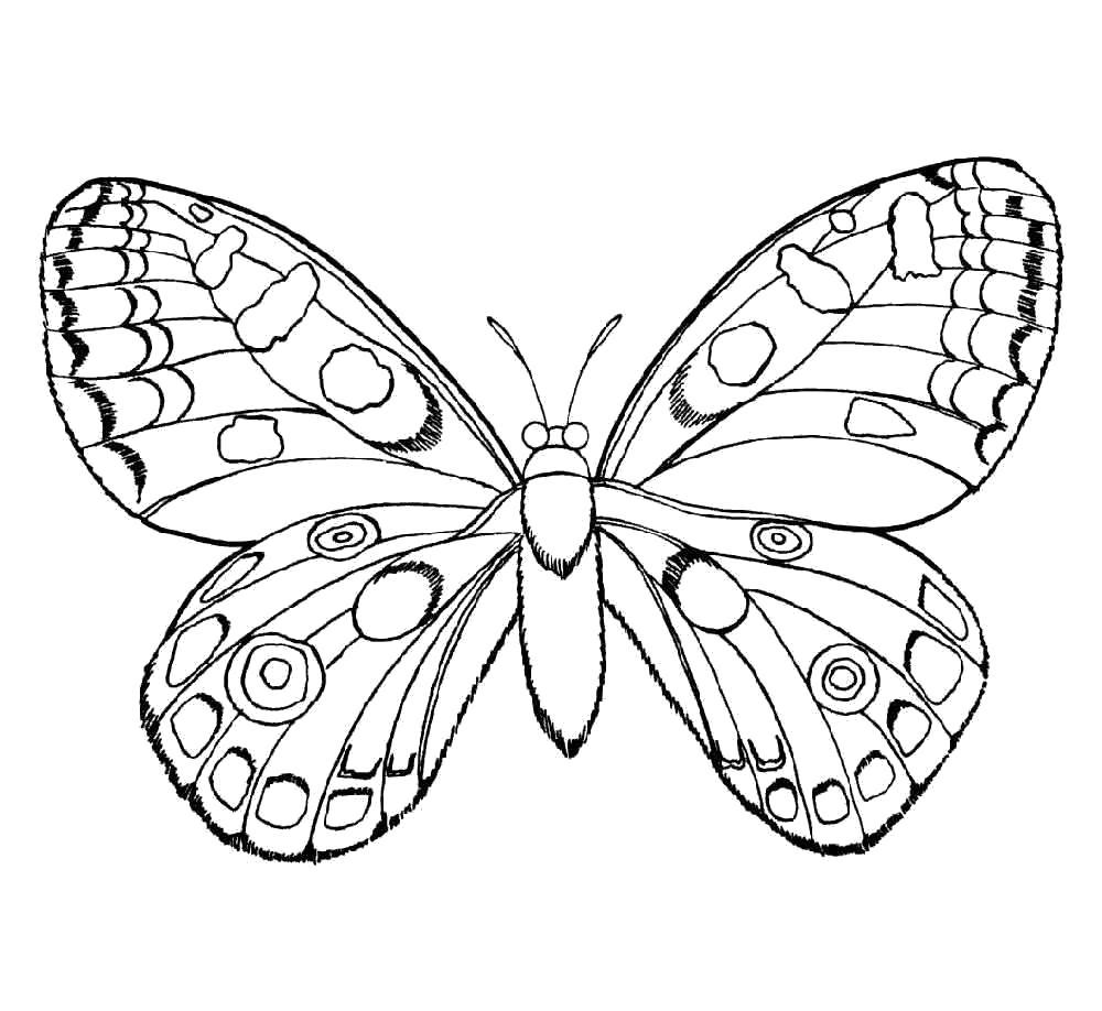 Раскраска  бабочка . Скачать Бабочки.  Распечатать Бабочки