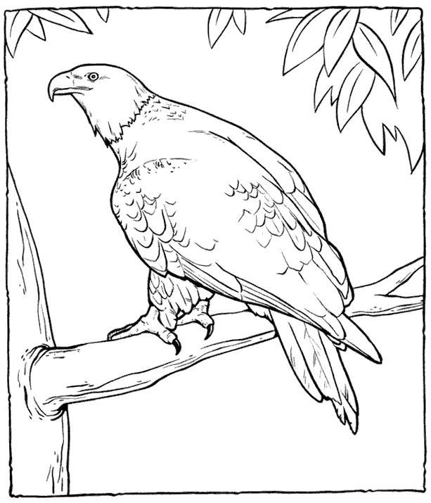 Раскраска  орел — самая большая хищная. Скачать .  Распечатать