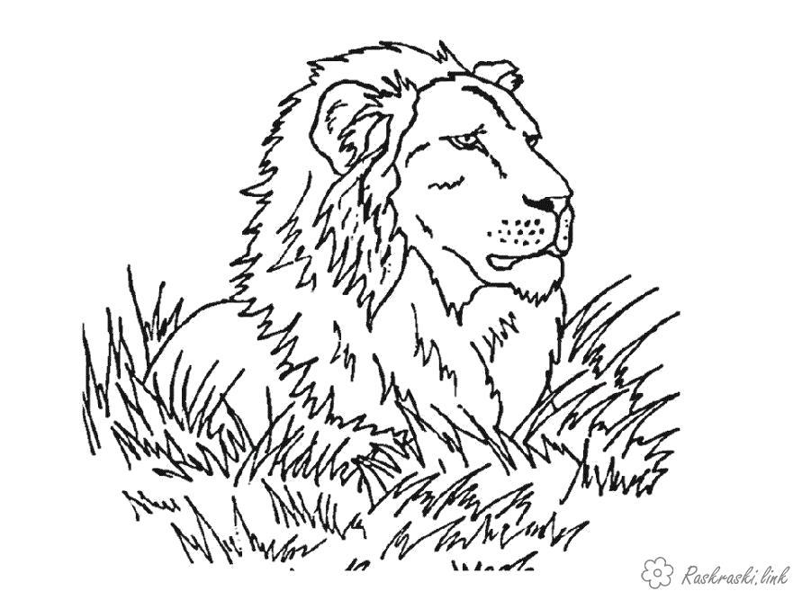 Раскраска  лев лежит в траве. Скачать .  Распечатать Дикие животные