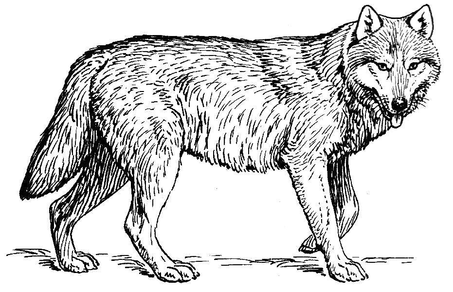 Раскраска Грозный волк. Скачать .  Распечатать