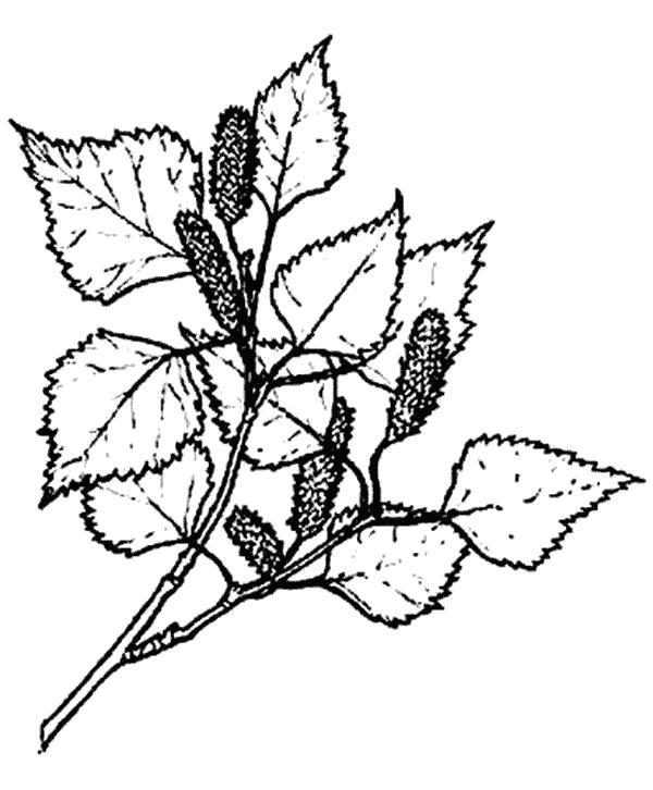 Раскраска береза. Скачать Листья березы.  Распечатать Контуры листьев