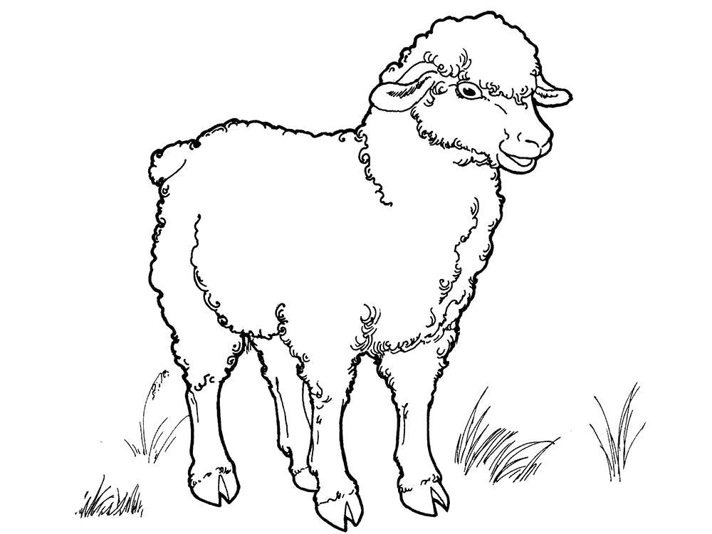 Раскраска  овечка, красивая овечка, овечка гуляет, . Скачать Овечка.  Распечатать Овечка